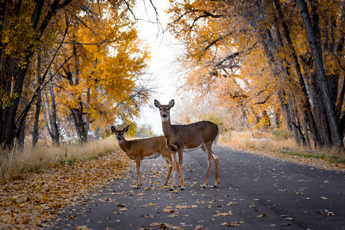 6 Points to Help Drivers Steer Clear of Crossing Deer this November 15th - Michigan Human Resources Blog - Sage Solutions Group - deer_crossing